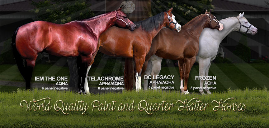 World Quality AQHA and APHA Halter Horses.